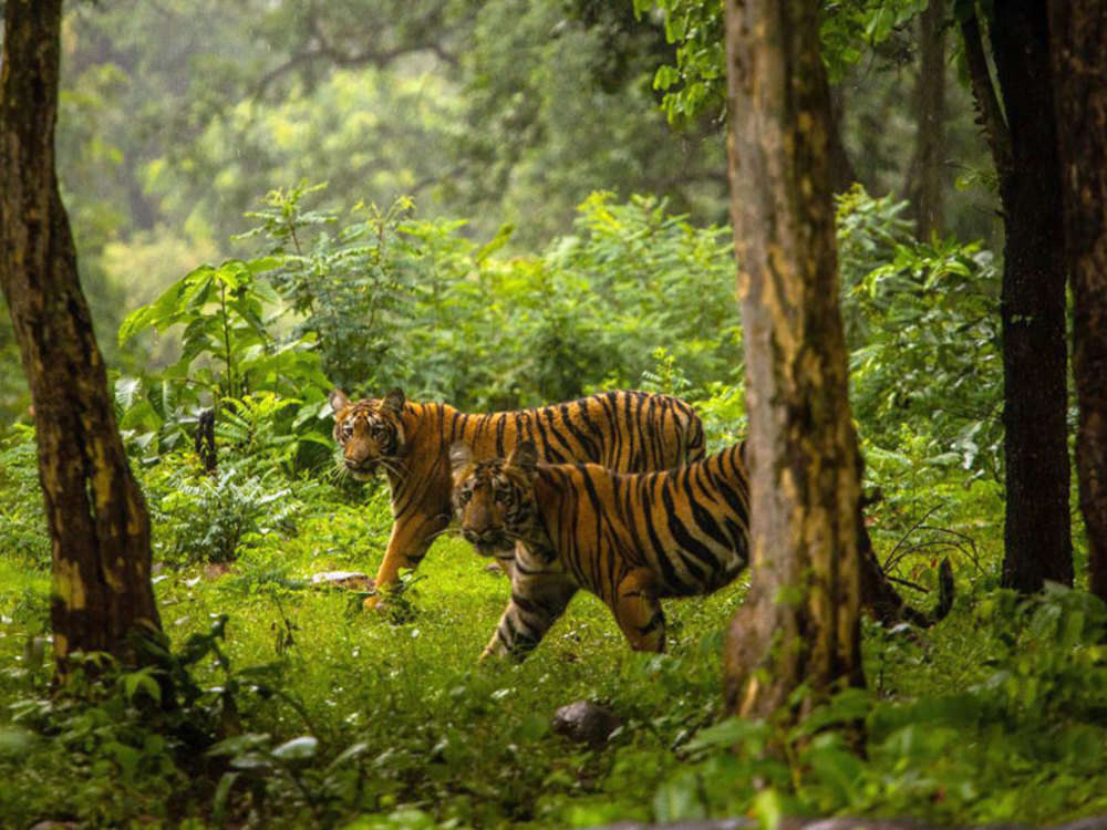 Has the tiger population risen by 20% to cross 2,600?