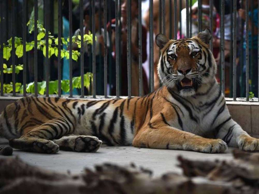 An open letter to PM Modi and Prakash Javadekar from tigers of India