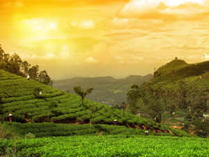 darjeeling-tea-plant-THINKSTK