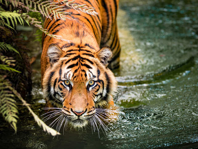 Tiger census shows positive trend