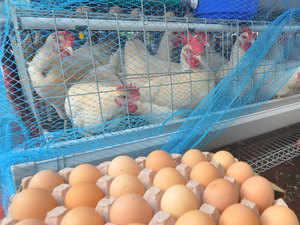 Poultry---bccl
