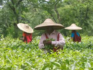 arunachal-tea-variety