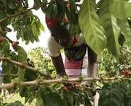 Coffee growers help reforest Mt.Gorongosa