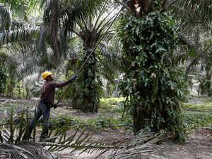 Palm Oil Reuters