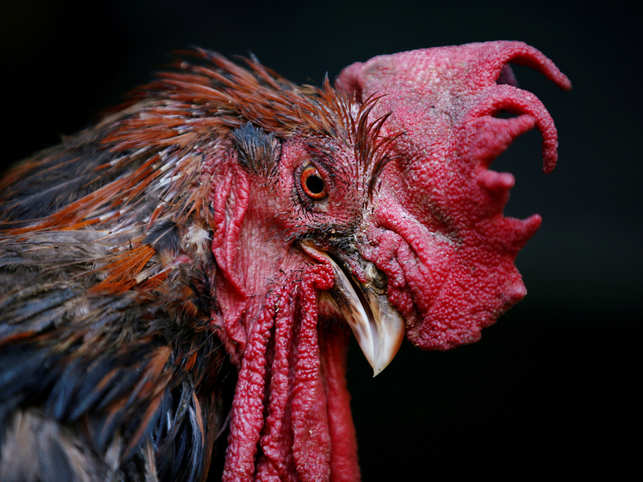 Maurice the Rooster