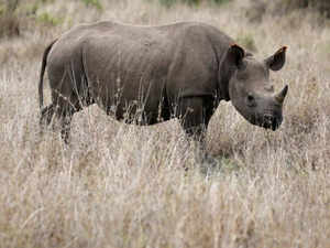 A black rhino calf is seen at the Ol Pejeta Conservancy in Laikipia national park, Kenya Reuters