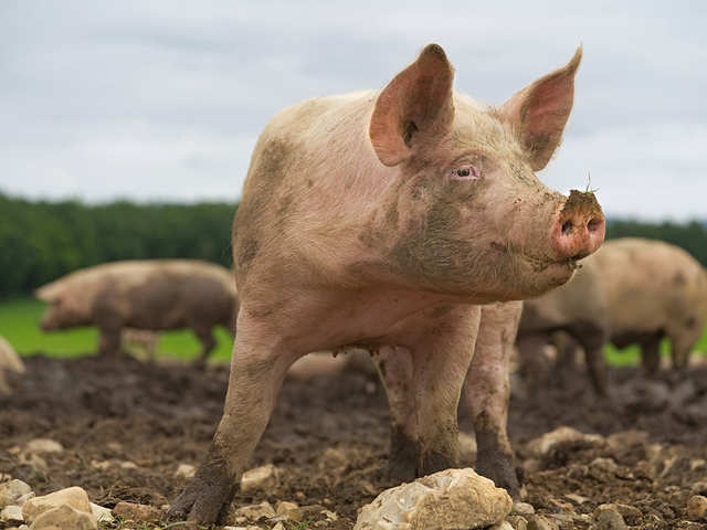 When it comes to innovation, think pig
