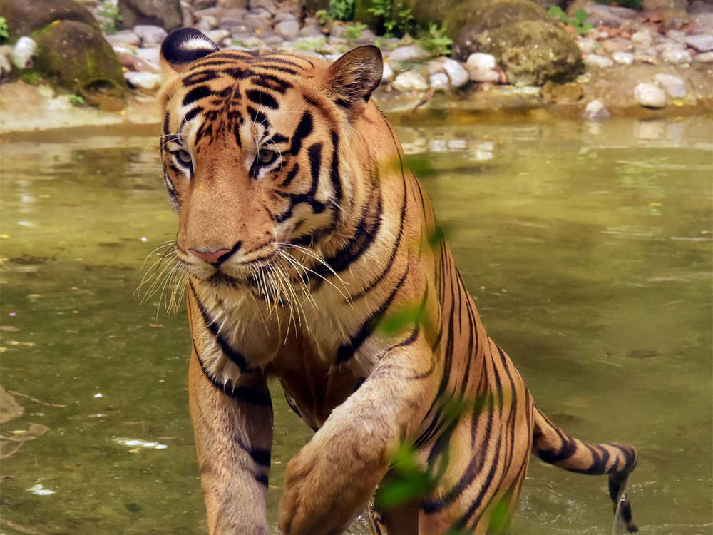 NTCA red flags MP's move to increase tourism activities inside tiger reserves