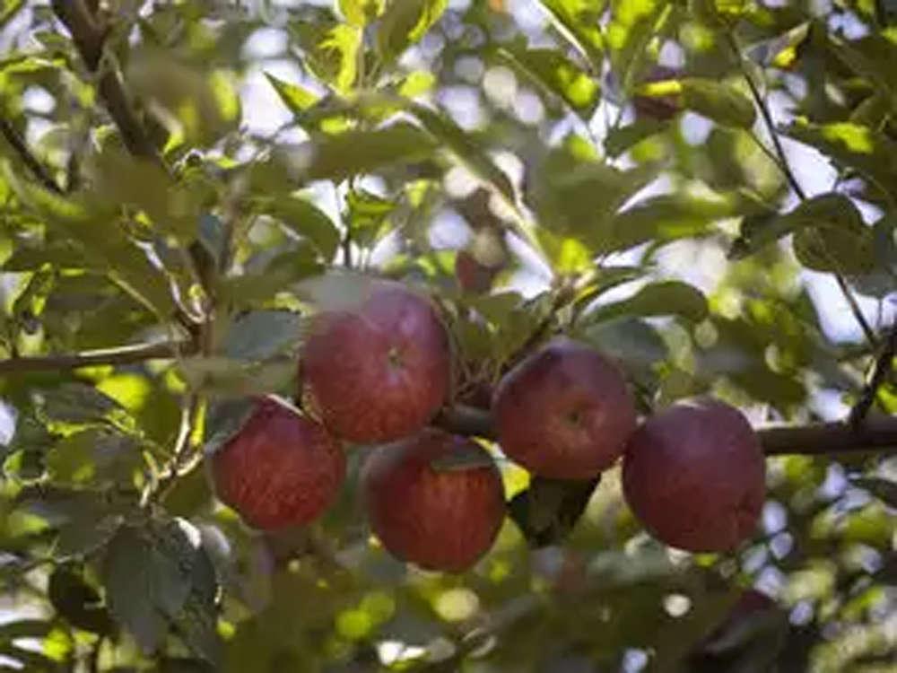 Bumper harvest in Jammu & Kashmir keeps apple prices low
