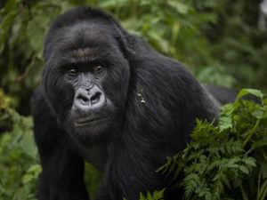A silverback mountain gorilla named Segasira walks in the Volcanoes National Park, Rwanda AP