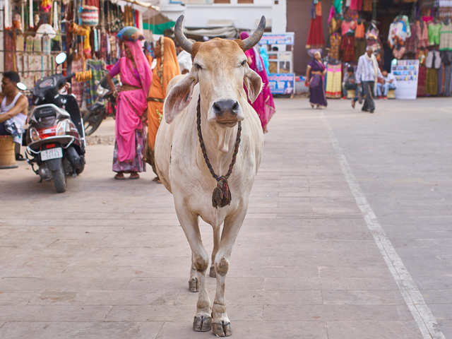Bovine goldmine for conjecture: A certain breed of politicians think they will strike gold by praising desi cows