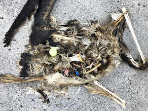 plastic sits in the decomposed carcass of a seabird on Midway Atoll in the Northwestern Hawaiian Islands AP