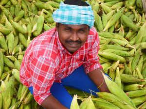 Maize---BCCL