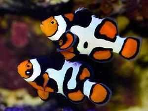 clownfish toi