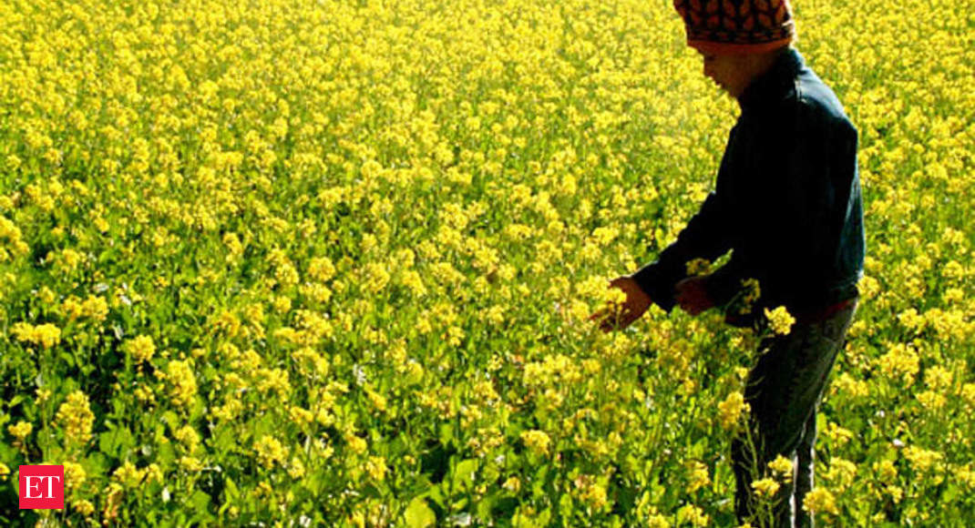Mustard cultivation shrinks as rains make farmers turn to wheat, pulses