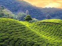 tea plantation-1200