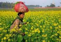 Amritsar: A woman works in a mustard field at a village on the outskirts of Amri...