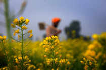 Amritsar: A farmer works at a mustard field, on the outskirts of Amritsar. (PTI ...