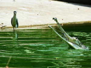 gharial-BCCL