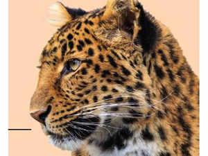 leopard-bccl