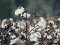 cotton-getty