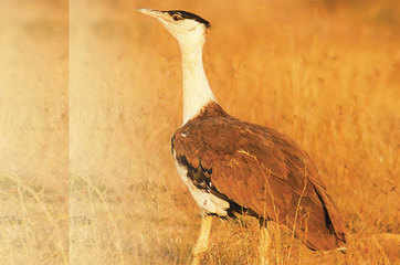 Extinction watch: The great Indian bustard species may vanish & why