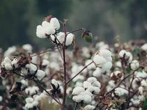Cotton-Getty-1200