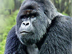 gorilla-agencies