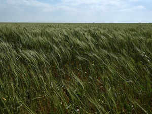 A field of winter wheat is seen near Wakita, Oklahoma, US File Reuters