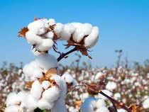 Cotton-Agencies