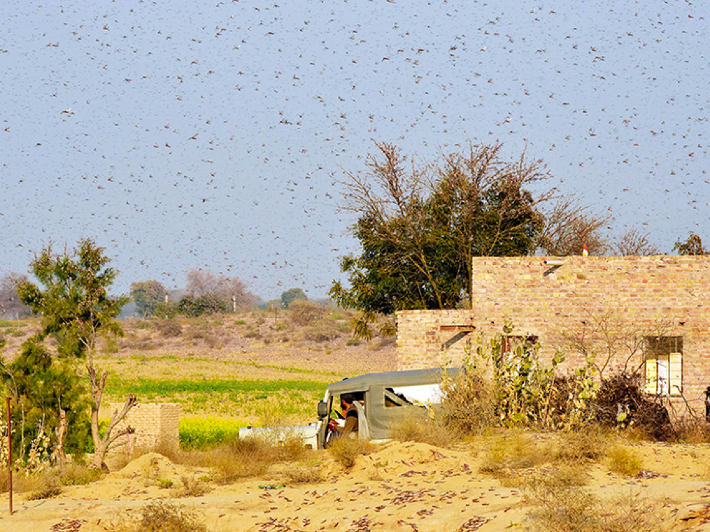 How cyclones led to locust attacks that cost India INR100 crore, and why the worst is yet to come