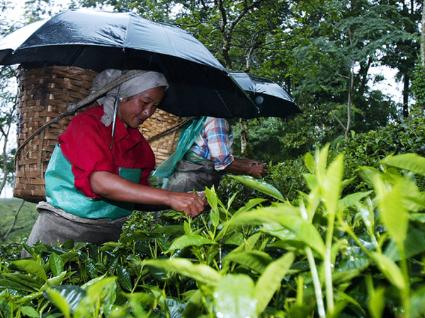 Darjeeling tea, prized across the world, might be losing its market. Blame it on climate change