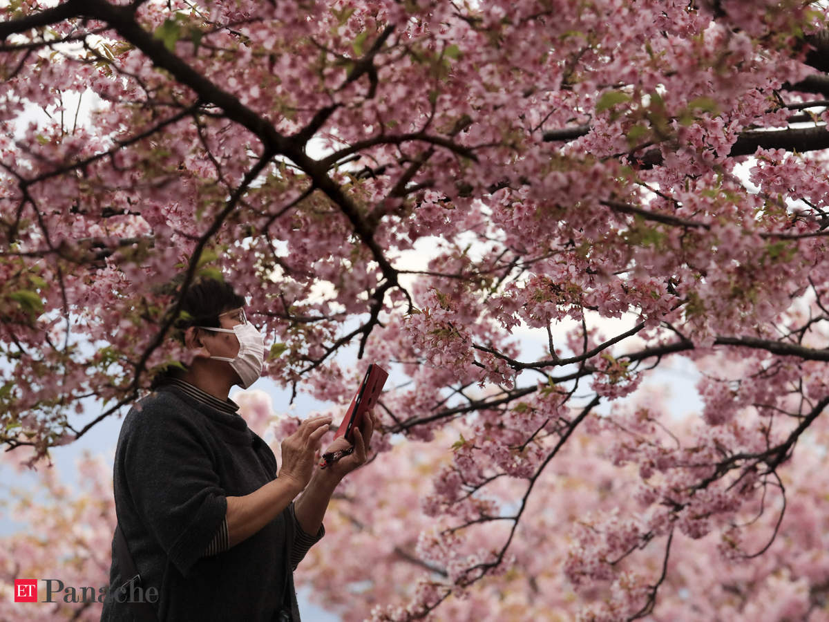 Blossom Festival Flowers That No Longer Bloom Japan Cherry Blossom Festivals Cancelled Over Coronavirus Fears The Economic Times,Small Square Kitchen Design Layout Pictures