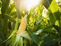 Corn Imports