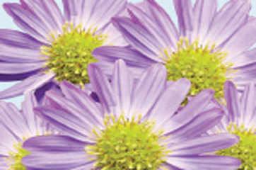 Extinction watch: Purple haze