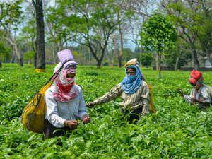 Tea-garden-pti-assam