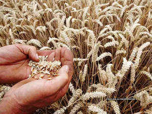wheat-bccl