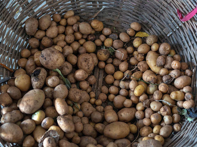 Faced with a potato glut in Punjab in 2015, it may be recalled that the then-chief minister had directed that government-supplied meals should be aloo-cated more spuds.