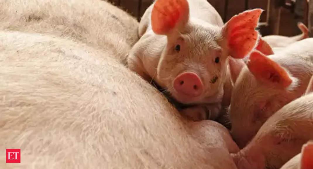 African Swine flu detected in Assam, 2,500 pigs killed in 306 villages