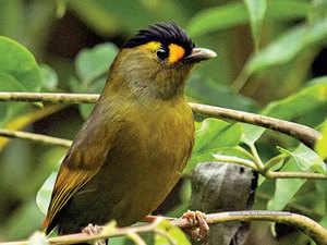 Songbird---BCCL