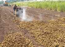 Karad: A farmer dries turmeric after boiling them, at Vadgaon village in Karad, ...