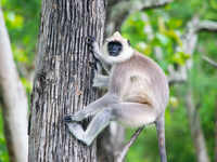 Monkeying around with the law? 'Langur-handler' tests positive for Covid-19, puts authorities in a fix