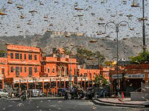 locusts-bccl