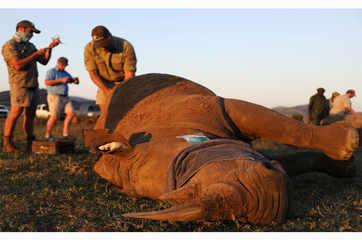 South Africa de-horns rhinos to prevent poaching