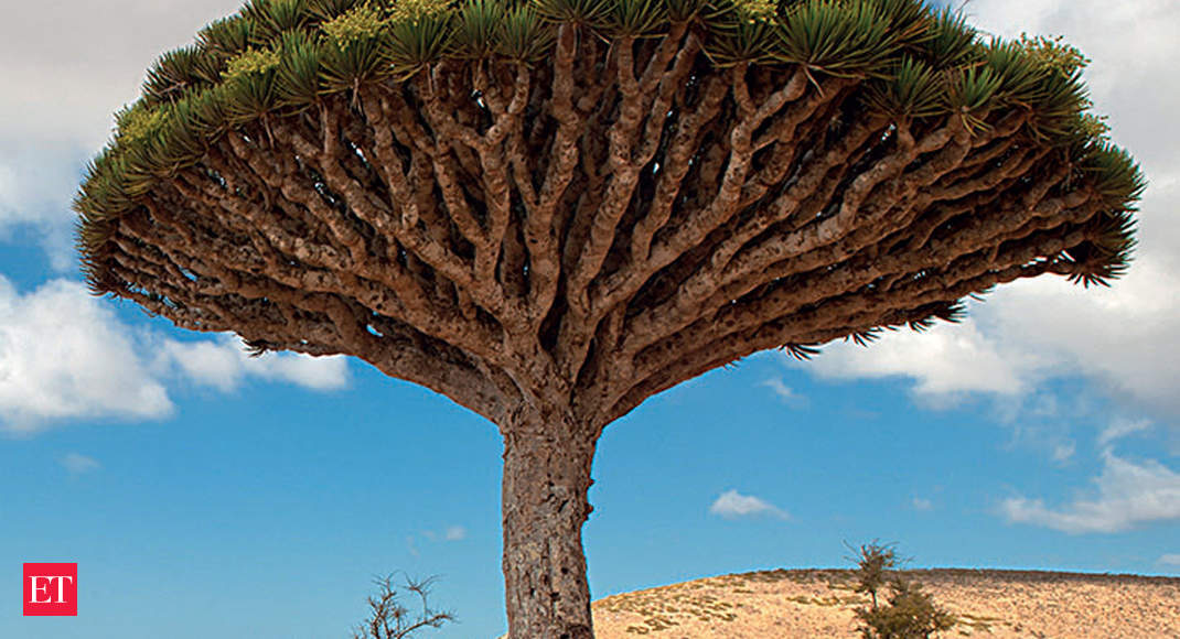 Extinction Watch: Dragon blood tree, a magical cure-all