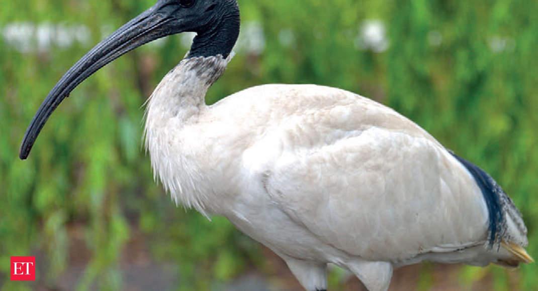 Extinction watch: Giant Ibis - the national bird of Cambodia