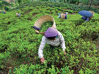 Save the brew: Tourism will help Darjeeling, but the world-renowned tea shouldn't be flushed down in the process