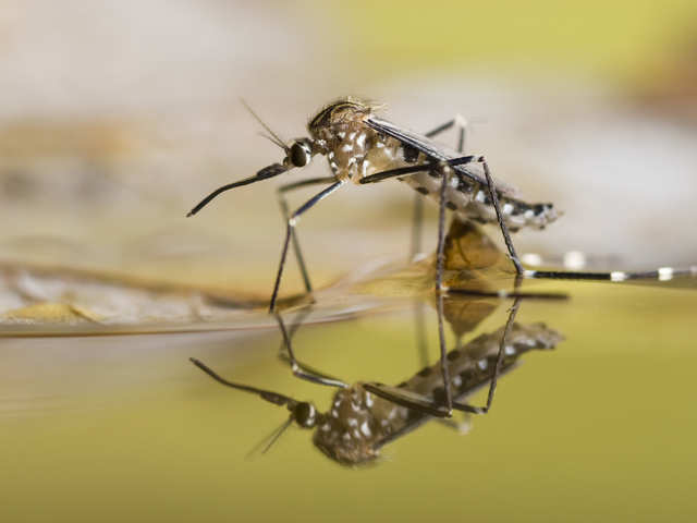 A sigh of relief: Mosquitoes cannot spread Covid-19
