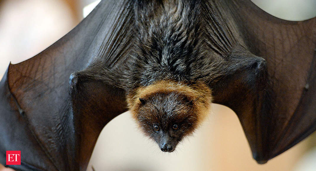 Some successful animal conservation projects around the world - Rodrigues Fruit Bat - Economic Times