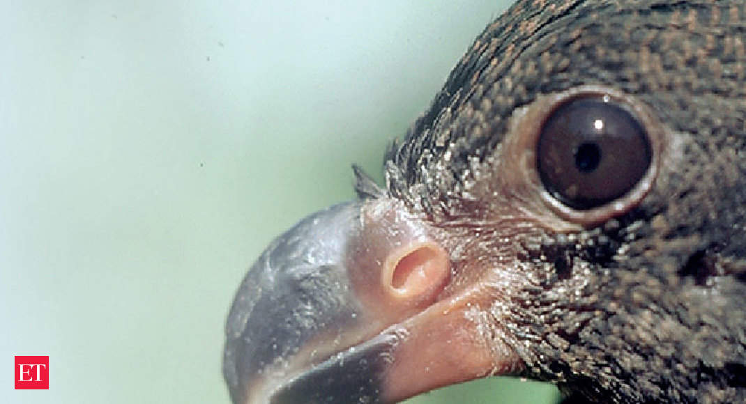 Tooth-billed Pigeon: Is there hope for the Little Dodo?